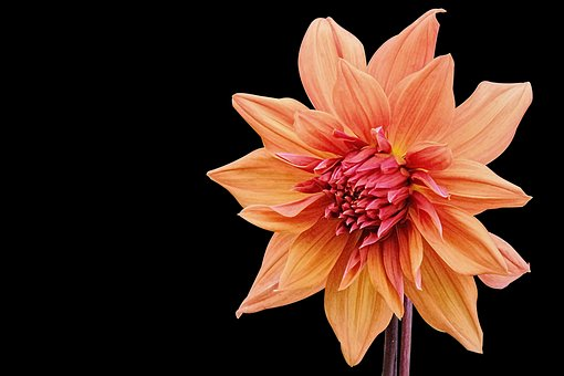 Dahlia, Nature, Flower, Plant, Blossom