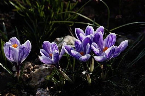 Crocus, Purple, Spring Flower