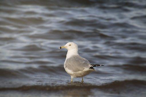 Bird, Nature, Water, Sea, Wildlife, Seagull