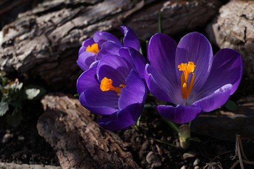 Crocus, Purple, Toxic, Spring, Blossom