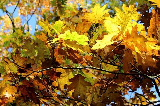 Leaf, Autumn, Season, Maple, Tree