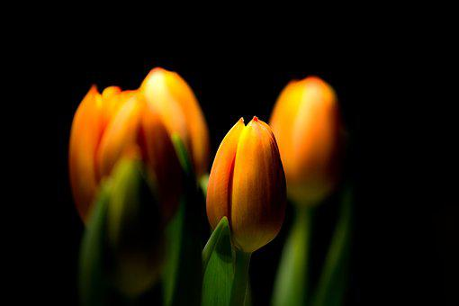 Tulip, Nature, Flower, Plant, Easter, Bright, Growth