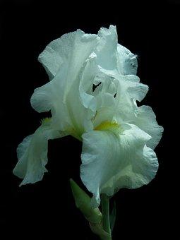 Iris, High Beard Iris, Blossom, Bloom, Close, White