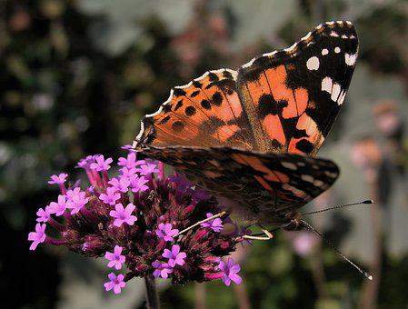 Butterfly, Insect, Nature, Outdoors, Invertebrate, Wing
