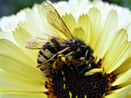 Nature, Pollen, Bee, Pollination, Insect, Closeup