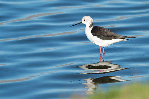 Black-winged Stilt, Bird, Seabird, Water, Sea, Avian