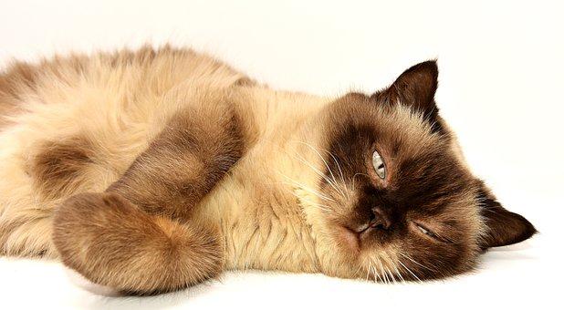 British Shorthair, Cat, Pet, Mieze, British, Short Hair