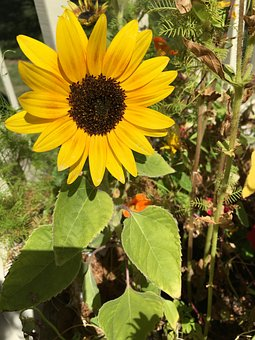 Nature, Flora, Flower, Summer, Leaf, Sunflower
