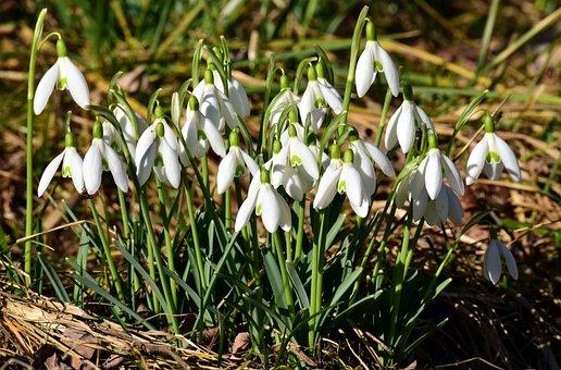 Snowdrop, Spring, White, Blossom, Bloom, Tender