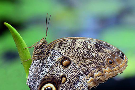 Owl Butterfly, Nature, Animal, Animal World, Insect