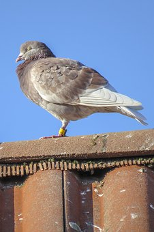 Dove, Bird, Resting, Roof Tile, Building, Roof, Animal