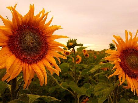 Sun Flower, Yellow, Blossom, Bloom, Summer, Nature