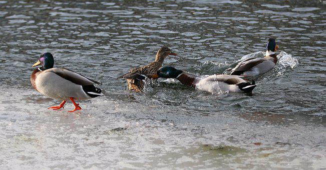 Ducks, Fight, Futterneid, Bird, Lake