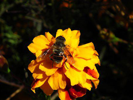 Nature, Insect, Bee, Flower