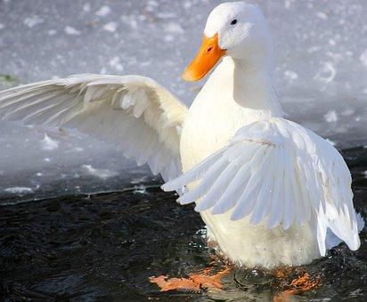 Bird, Feather, Nature, Water, Duck