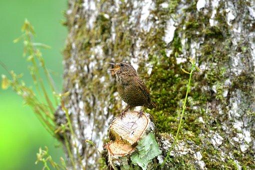Natural, Wood, Outdoors, Wild Animals, Bird, Wren
