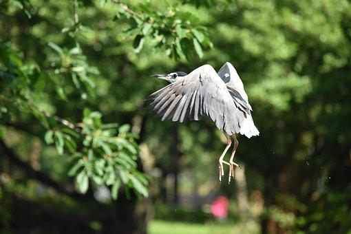 Nature, Bird, Outdoors, Tree, Wildlife, Night Heron