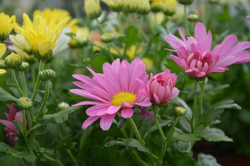 Flower, Petals Yellow Rose, Nature