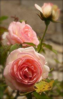 Flower, Rosebush, Nature, Plant
