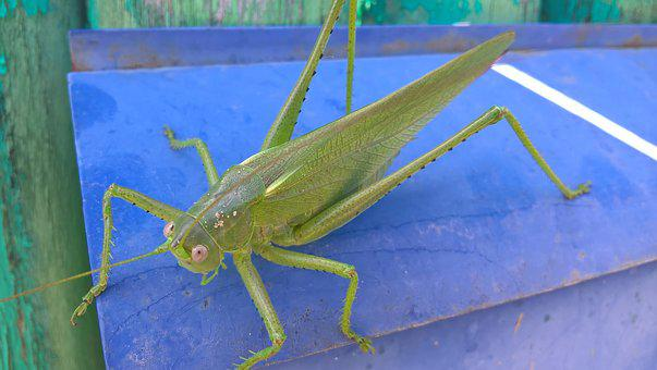 Nature, Grasshopper, Outdoors, No One, Insect, Closeup