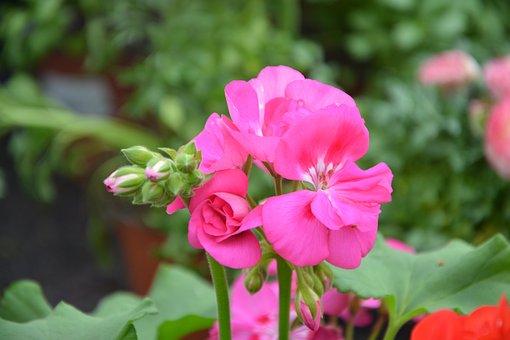 Flower, Rose Geranium, Nature, Plant