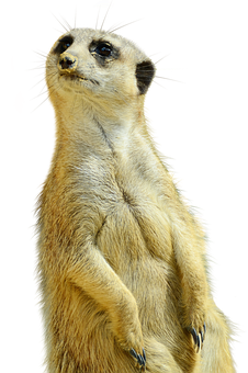 Meerkat, Isolated, Zoo, Nature, Curious, Animals