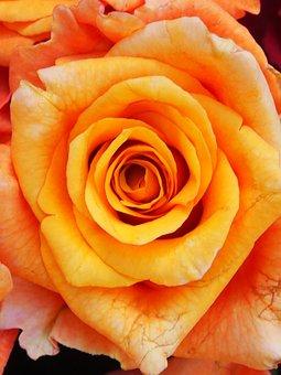 Flower, Rose, Flowers, Orange, Nature