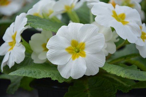 Flowers, Flower, Primroses White, Nature
