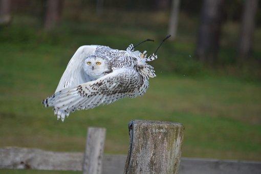 Snowy Owl, Nature, Bird, Animal World, Grass