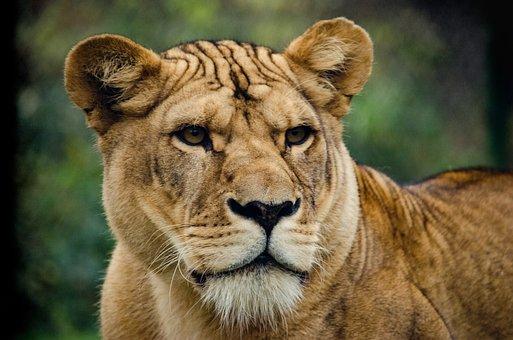 Lioness, Cat, Big Cat, Wild, Majestic