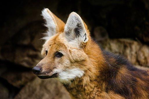 Maned Wolf, Wolf, Wild Dog, South America, Hochbeinig