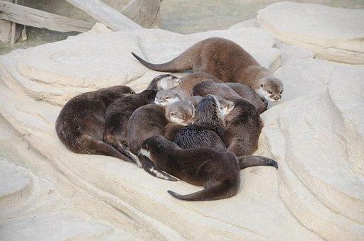 Animal, Mammal, Nature, Family, Zoo, Otter, Group