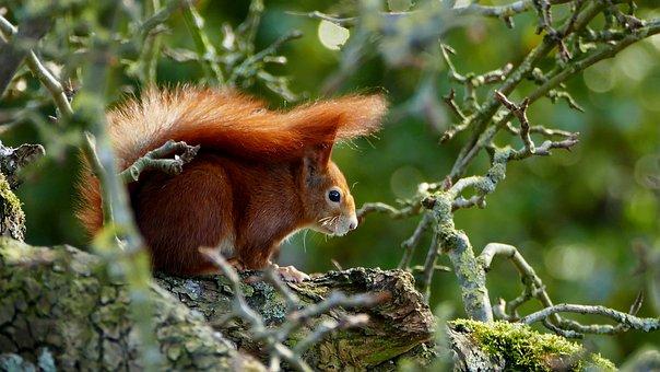 Squirrel, Red, Wild Animal, Nature