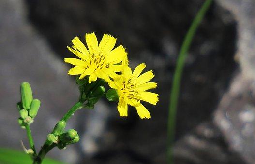 Nature, Plant, Flower, Outdoor, Dandelion, Lawn, Wild