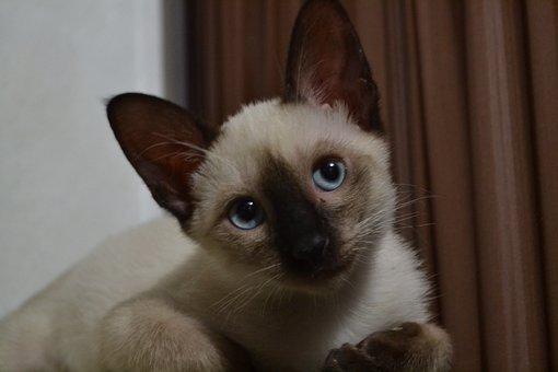 Mammal, Cute, Animal, Portrait, Pet, Cat, Siamese
