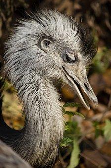 Rhea Bird, South America, Big Bird, Flightless, Feather