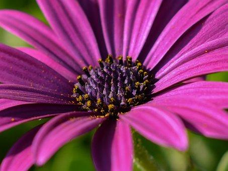 African Daisy, Flower, Nature, Flora