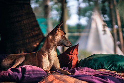 Adorable, Animal, Background, Bed, Breed