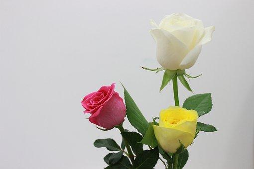 Rose, Roses, Flower, Spring, Flowers Bloom, Natural