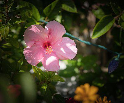Pink Hibiscus, Flower, Close Up, Flora, Nature, Leaf
