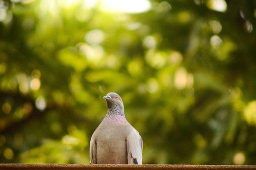 Nature, Outdoors, Bird, Wildlife, Beautiful, Pigeon