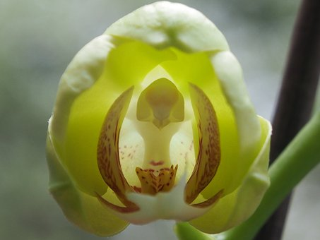Orchid, Bud, Flower, Close