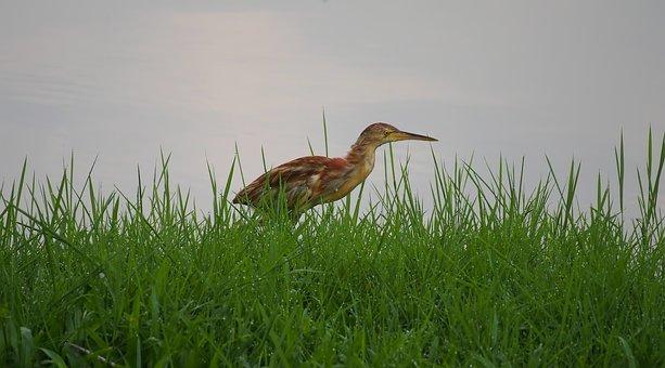 Nature, Grass, Bird, Summer, Water, Outdoors, Animal