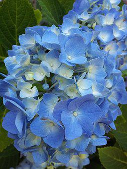 Flowers, Floral, Hydrangea, Blue, Plants, Shrubs, Bloom