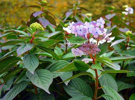 Hydrangea, Bush, Flowers, Pink, Plant, Close
