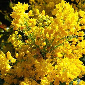 Forsythia, Flowers, Bushes, Spring, Garden
