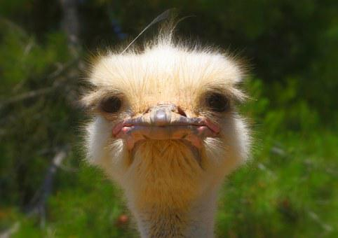 Ostrich, Animal, Nature, Wildlife, Beak, Head, Eye