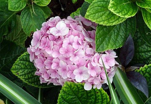 Hydrangea, Flower, Mophead Hydrangea