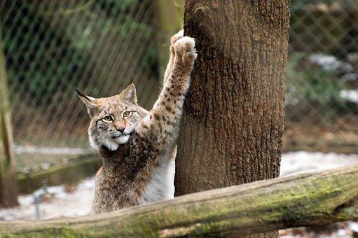 Nature, Animal, Animal World, Mammal, Cat, Lynx
