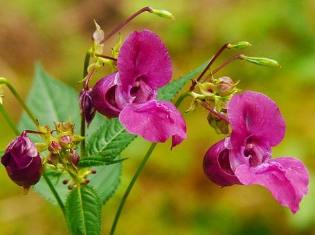 Indian Springkraut, Himalayan Balsam, Annual